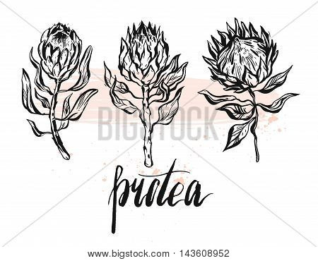 Hand drawn vector graphic floral set of ink protea flowers isolated on white background.Design decoration elements for greetingsave the datebirthday cards.