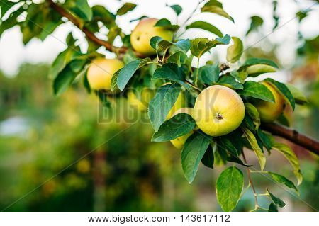 Close View Of The Branch Of Apple Tree, Hung With Yellow And Pink Sappy Apples Fruit Among Green Leaves In Summer Orchard. Green Copyspace Background.