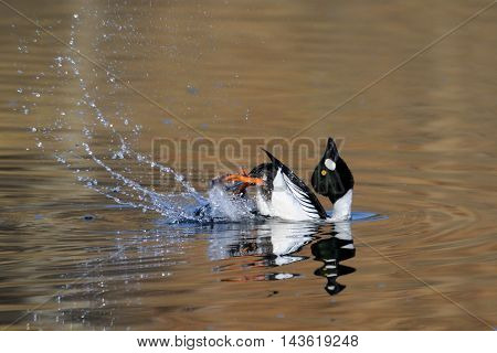 Courtship display of male Common goldeneye (Bucephala clangula) reflected in pond water surface. Moscow region Russia