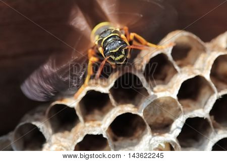 Paper Wasp sitting on nest. Polistes dominulus