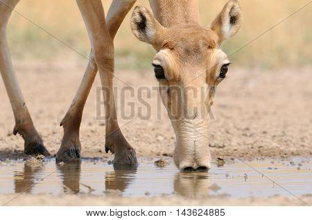 Drinking Saiga antelope (Saiga tatarica). Federal nature reserve Mekletinskii Kalmykia Russia August 2015