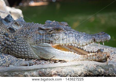 A crocodile waits patiently for prey in Queensland, Australia