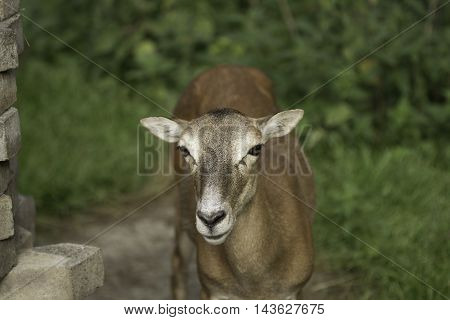 The European Roe Deer  -  Capreolus capreolus
