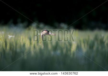 Common crane (Grus grus) hidden at wheat field. National park Plesheevo Lake Yaroslavl region Russia
