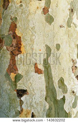 London plane tree bark pattern natural texture