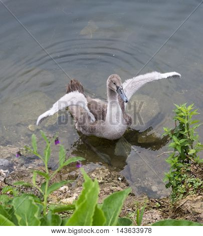 Adult gray cygnet waving wings on the lake in the autumn.