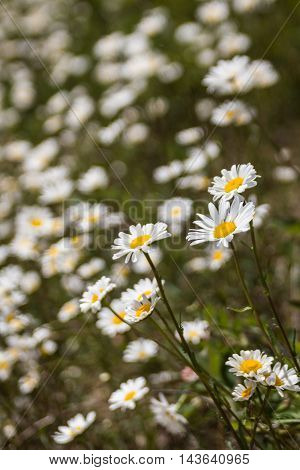 White Or Common Daisy Bellis Perennis Flower