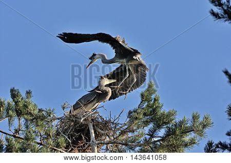 Grey Heron (Ardea cinerea) chick flies over the nest. National park Plesheevo Lake Yaroslavl region Russia