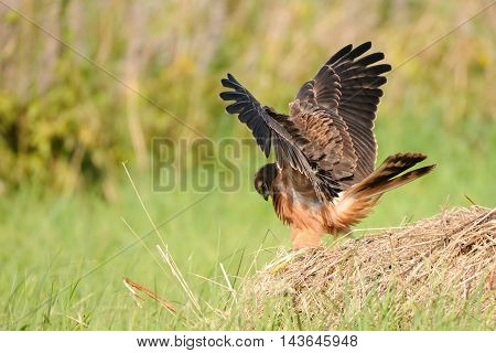 Juvenile Montagus harrier (Circus pygargus) flapping wings at the meadow. Kaluga region Russia