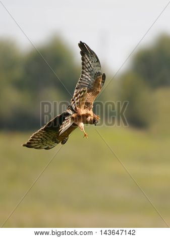 Juvenile Montagus harrier (Circus pygargus) hunting for a mouse at the meadow. Kaluga region Russia