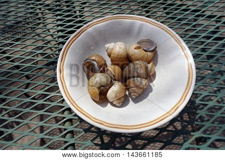 A bowl contains the shells of Chinese mystery snails (Bellamya chinensis) found along the shore of a small lake in Joliet, Illinois.
