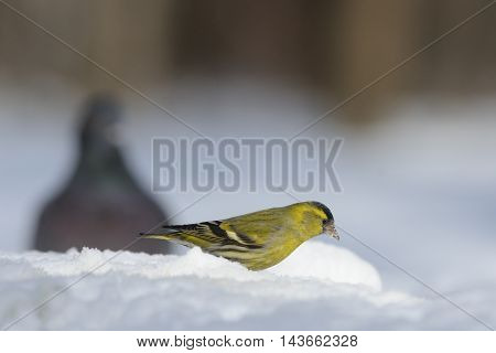 Male Siskin (Carduelis spinus) and Domestic pigeon (Columba livia) in snow. Moscow region Russia