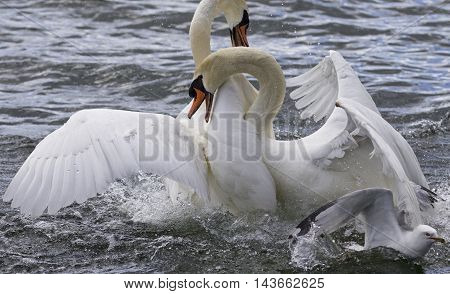 Amazing expressive fight of two swans in the lake