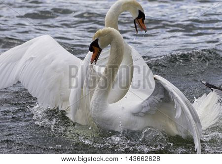 Amazing expressive photo of the fighting swans
