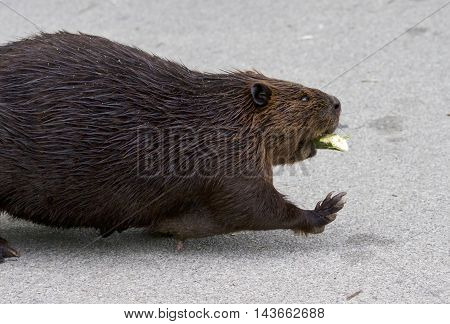 Detailed closeup of a funny North American beaver