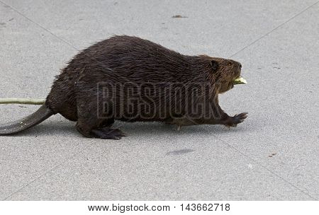 Isolated close image with a funny Canadian beaver
