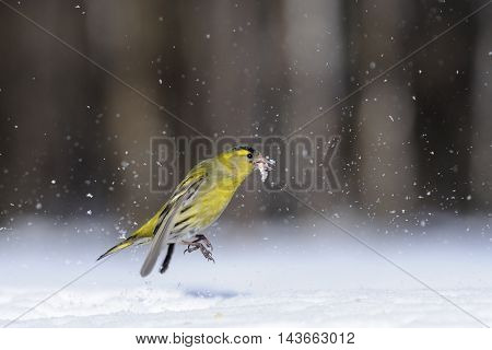 Male siskin (Carduelis spinus) in snow. Moscow region Russia