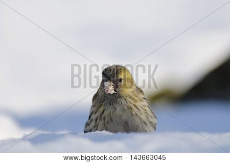 Female siskin (Carduelis spinus) in snow. Moscow region Russia