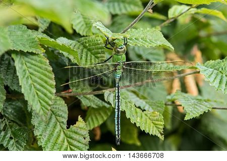 A  Male emperor dragonfly sitting on a hedge