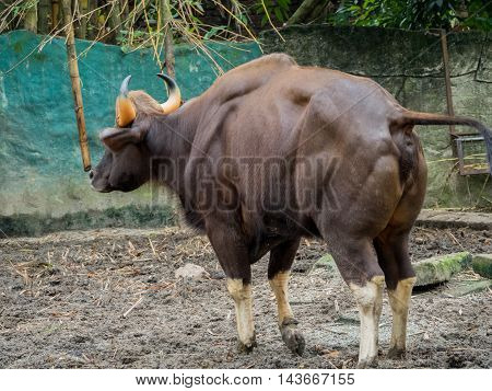 Close up back of Male Malayan Gaur