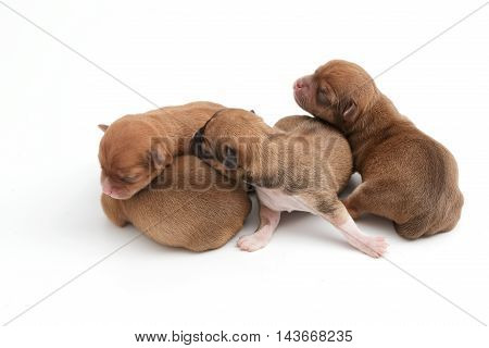 Sleeping newborn Chihuahua puppies on white background