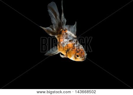 tricolor gold fish , isolate on background