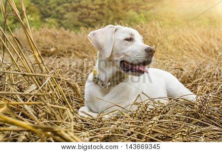 Young purebred labrador dog puppy lying in a field on straw while the sun shines