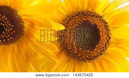 Yellow background of sunflowers petal close up