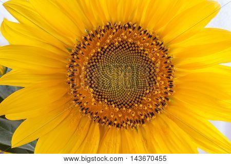 Close-up of bright yellow sunflower with natural background