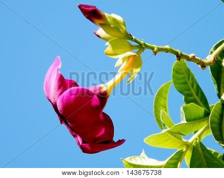 Flower of Mandevilla sanderi in Or Yehuda Israel