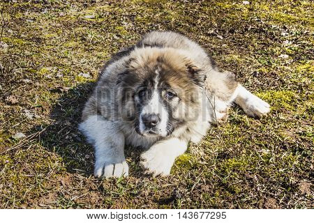 Fluffy Caucasian shepherd dog is lying on the ground