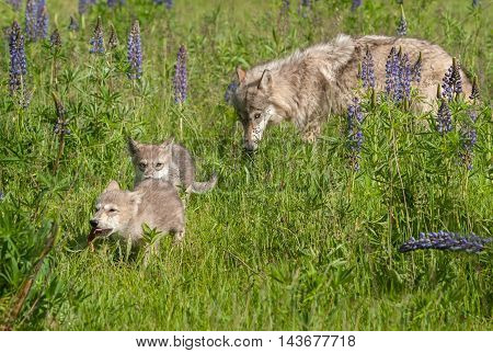 Grey Wolf (Canis lupus) Pups Run with Yearling Behind - captive animals