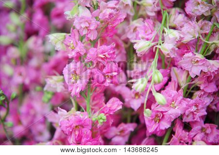 Pink Delphinium flowers close up. Photographed at Amsterdam flower market