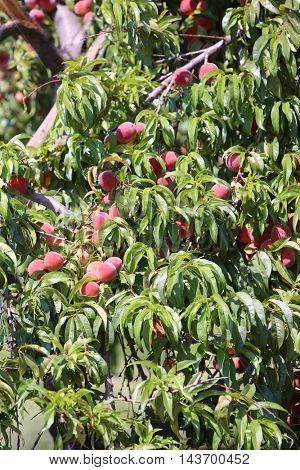 Peaches growing on a tree