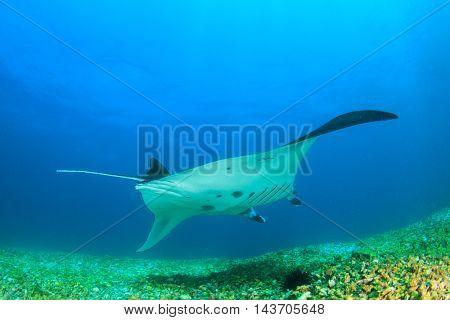 Reef Manta, Komodo National Park, Indonesia