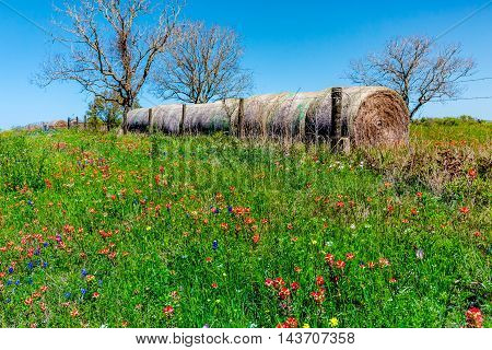 A Meadow at a Ranch with Dry Round Hay Bales of Texas Grasses used to Feed Cattle Near Various Fresh Texas Wildflowers in Spring Including Indian Paintbrush and Texas Bluebonnets.