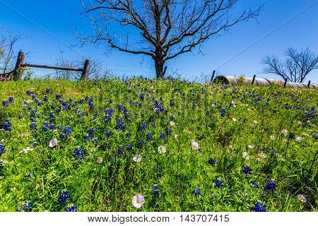 A Roadside Full of Texas Wildflowers Next to a Ranch with Dry Round Hay Bales of Texas Grasses used to Feed Cattle Next to Indian Paintbrush and Texas Bluebonnets, among other Wildflowers.