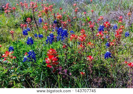 A Beautiful Cluster of Various WIldflowers but Mostly of Bright Orange Indian Paintbrush (or Prairie Fire) Wildflowers in the Texas Hill Country. Castilleja foliolosa.