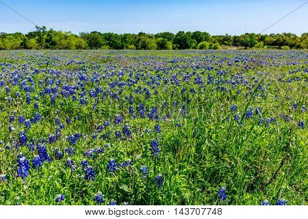 A Wide Angle View of a Beautiful Field Smothered with the Famous Texas Bluebonnet (Lupinus texensis) Wildflowers.