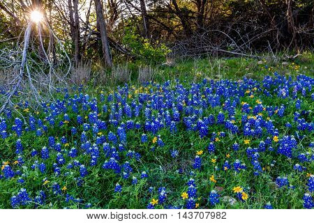 Beautiful Famous Texas Bluebonnet (Lupinus texensis) Wildflowers at Muleshoe Bend in Texas with Setting Sun.