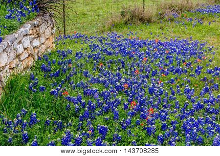 Fence Row Blanketed with the Famous Texas Bluebonnet (Lupinus texensis) Wildflowers.