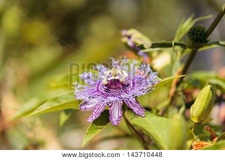 Purple passion flower Passiflora caerulea on a vine in a garden in summer