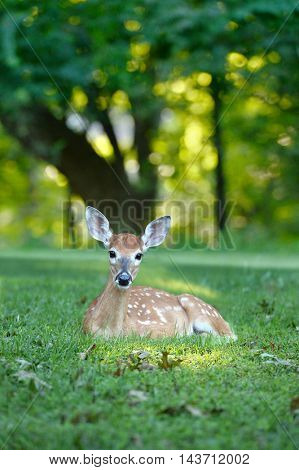 White tailed fawn resting on grass during late afternoon