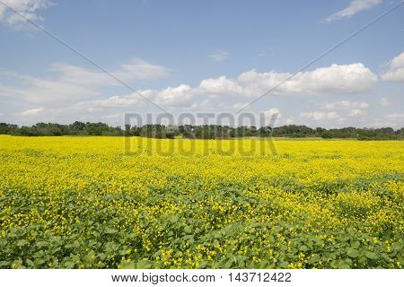 A field of flowering rapeseed. Beautiful summer rural landscape