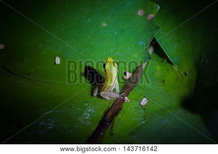 frog on a Lotus leaf at night