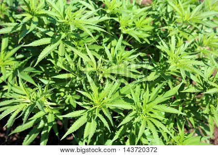 Marijuana Plant - Background for computer wall paper and screen savers