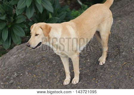 the image of the Dog of thailand