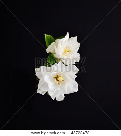 Two gardenia and black background