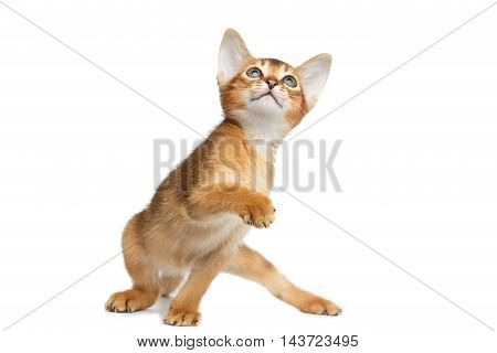 Playful Abyssinian Kitty Looks up and Curious Standing on Isolated White Background, Front view, Raising paw