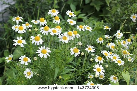 Bush of white garden daisies in a sunny day